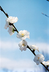 Corinthian White Flowering Peach (Prunus persica 'Corinthian White') at Garden Treasures