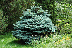 Globe Blue Spruce (Picea pungens 'Globosa') at Garden Treasures