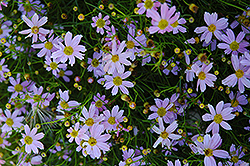 Pink Tickseed (Coreopsis rosea) at Garden Treasures