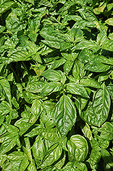 Sweet Basil (Ocimum basilicum) at Garden Treasures