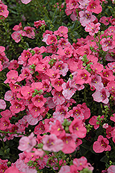 Darla Rose Twinspur (Diascia 'Darla Rose') at Garden Treasures