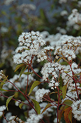 Chocolate Boneset (Eupatorium rugosum 'Chocolate') at Garden Treasures
