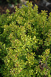 Golden Nugget Japanese Barberry (Berberis thunbergii 'Golden Nugget') at Garden Treasures