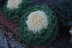 White Kale (Brassica oleracea 'White') at Garden Treasures
