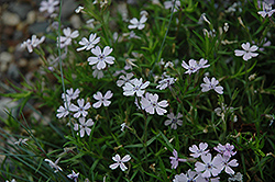 Sand Phlox (Phlox bifida) at Garden Treasures