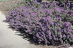 Walker's Low Catmint (Nepeta x faassenii 'Walker's Low') at Garden Treasures