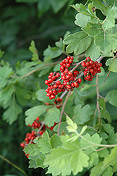 Fragrant Sumac (Rhus aromatica) at Garden Treasures