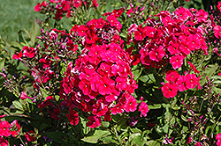 Miss Mary Garden Phlox (Phlox paniculata 'Miss Mary') at Garden Treasures