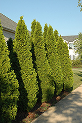 Emerald Green Arborvitae (Thuja occidentalis 'Smaragd') at Garden Treasures