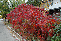 Staghorn Sumac (Rhus typhina) at Garden Treasures