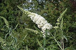 White Profusion Butterfly Bush (Buddleia davidii 'White Profusion') at Garden Treasures