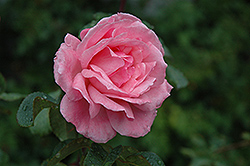 Queen Elizabeth Rose (Rosa 'Queen Elizabeth') at Garden Treasures