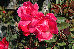 Pink Knock Out® Rose (Rosa 'Radcon') at Garden Treasures