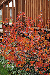 Autumn Magic Black Chokeberry (Aronia melanocarpa 'Autumn Magic') at Garden Treasures