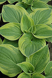 Wide Brim Hosta (Hosta 'Wide Brim') at Garden Treasures