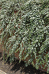 Coral Beauty Cotoneaster (Cotoneaster dammeri 'Coral Beauty') at Garden Treasures