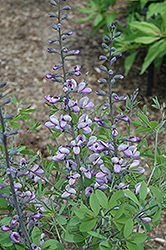 Purple Smoke False Indigo (Baptisia 'Purple Smoke') at Garden Treasures
