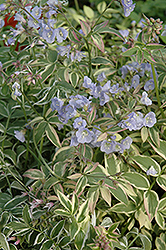 Touch Of Class Jacob's Ladder (Polemonium reptans 'Touch Of Class') at Garden Treasures