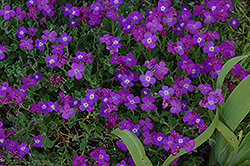 Dr. Mules False Rock Cress (Aubrieta x cultorum 'Dr. Mules') at Garden Treasures
