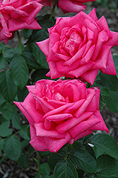 Miss All American Beauty Rose (Rosa 'Miss All American Beauty') at Garden Treasures