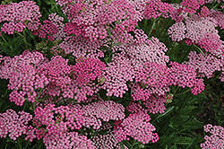 Pink Grapefruit Yarrow (Achillea 'Pink Grapefruit') at Garden Treasures