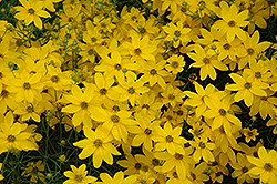 Golden Showers Tickseed (Coreopsis verticillata 'Golden Showers') at Garden Treasures