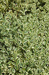 Variegated Boxwood (Buxus sempervirens 'Elegantissima') at Garden Treasures