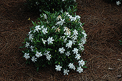 Frost Proof Hardy Gardenia (Gardenia jasminoides 'Frost Proof') at Garden Treasures