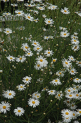 Marguerite Daisy (Argyranthemum gracile) at Garden Treasures