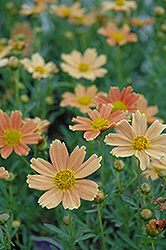 Sienna Sunset Tickseed (Coreopsis 'Sienna Sunset') at Garden Treasures