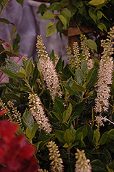 Sixteen Candles Summersweet (Clethra alnifolia 'Sixteen Candles') at Garden Treasures
