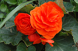 Nonstop® Golden Orange Begonia (Begonia 'Nonstop Golden Orange') at Garden Treasures