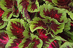 Kong Red Coleus (Solenostemon scutellarioides 'Kong Red') at Garden Treasures