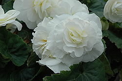 Nonstop® White Begonia (Begonia 'Nonstop White') at Garden Treasures