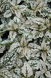 Splash Select White Polka Dot Plant (Hypoestes phyllostachya 'Splash Select White') at Garden Treasures