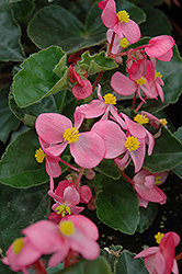BabyWing® Pink Begonia (Begonia 'BabyWing Pink') at Garden Treasures