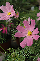 Sensation Cosmos (Cosmos 'Sensation') at Garden Treasures