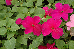 Super Elfin® Violet Impatiens (Impatiens walleriana 'Super Elfin Violet') at Garden Treasures