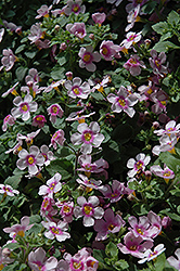 Scopia Great Pink Ring Bacopa (Sutera cordata 'Scopia Great Pink Ring') at Garden Treasures