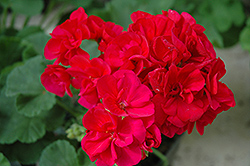 Americana® Cranberry Red Geranium (Pelargonium 'Americana Cranberry Red') at Garden Treasures