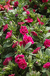 Superbells® Double Rose Calibrachoa (Calibrachoa 'Superbells Double Rose') at Garden Treasures
