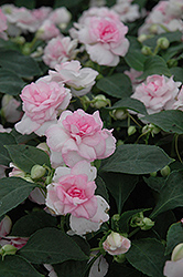 Fiesta Apple Blossom Double Impatiens (Impatiens 'Fiesta Apple Blossom') at Garden Treasures