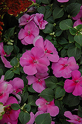 Super Elfin® Lavender Impatiens (Impatiens walleriana 'Super Elfin Lavender') at Garden Treasures