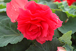 Nonstop® Bright Red Begonia (Begonia 'Nonstop Bright Red') at Garden Treasures
