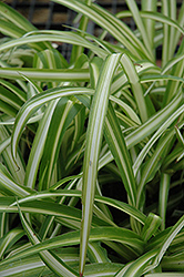 Spider Plant (Chlorophytum comosum) at Garden Treasures