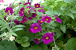 Superbells® Blue Calibrachoa (Calibrachoa 'Superbells Blue') at Garden Treasures