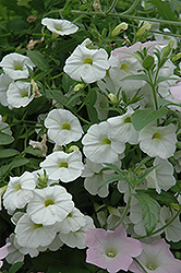 Superbells® White Calibrachoa (Calibrachoa 'Superbells White') at Garden Treasures