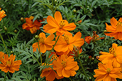Cosmic Orange Cosmos (Cosmos 'Cosmic Orange') at Garden Treasures