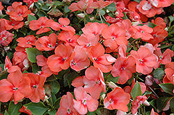 Super Elfin® Apricot Impatiens (Impatiens walleriana 'Super Elfin Apricot') at Garden Treasures