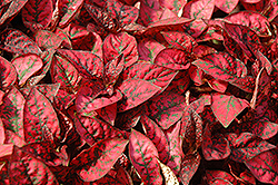 Splash Select Red Polka Dot Plant (Hypoestes phyllostachya 'Splash Select Red') at Garden Treasures